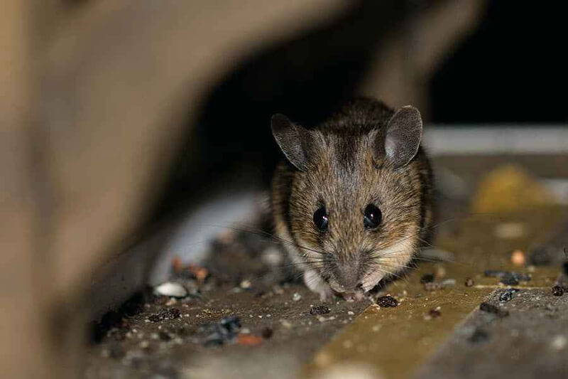 Signs of Rodent Infestations