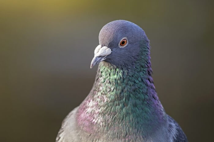 How Pigeons Thrive Throughout Winter