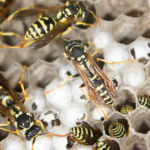 Why Were Wasp Populations High in 2018?