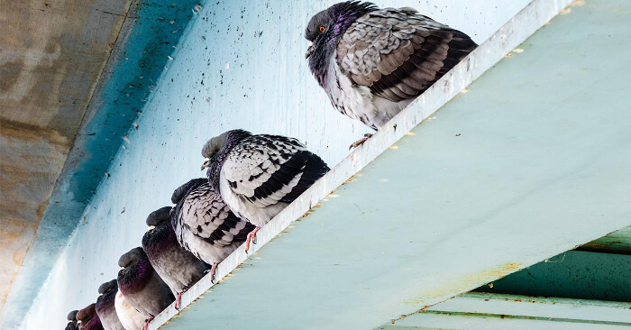 The Legality of Shooting Pest Birds