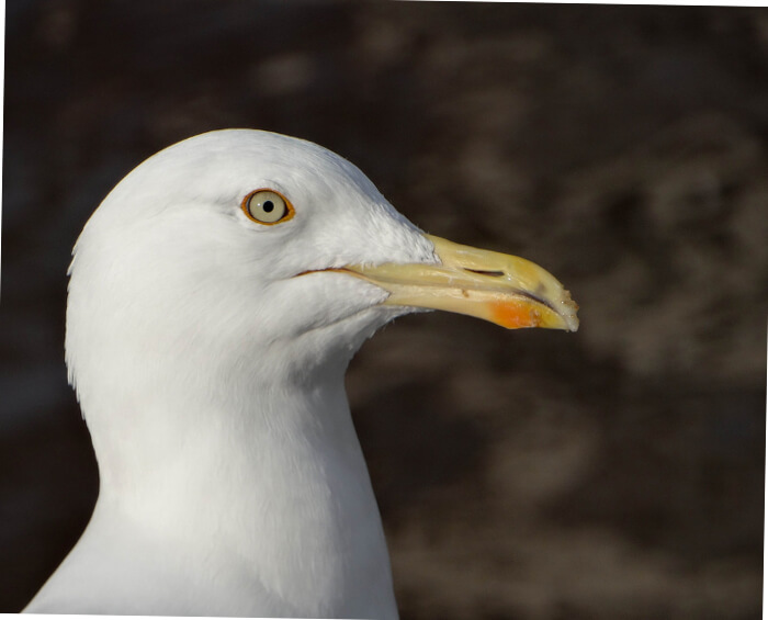 Are UK Gull Populations Rising?