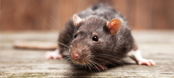 Rodent Control Glasgow